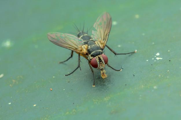 Housefly (musca domestica) on green leaves nature macro Premium Photo