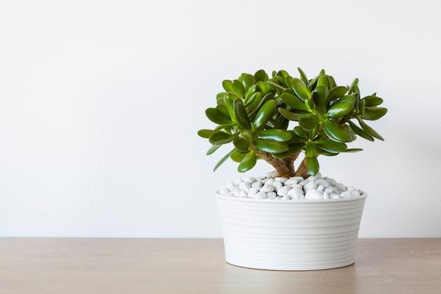 Houseplant crassula ovata jade plant money tree in white pot Premium Photo