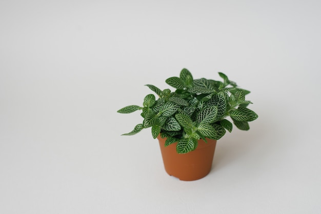 Houseplant fittonia dark green with white streaks in a brown pot on a white background. copy space Premium Photo