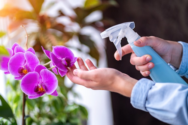 Housewife taking care of house plants at her home, spraying orchid flower with pure water from a spray bottle Premium Photo