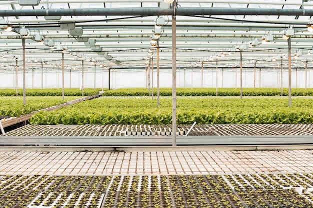 A huge greenhouse with lettuce growing out of seedlings Premium Photo