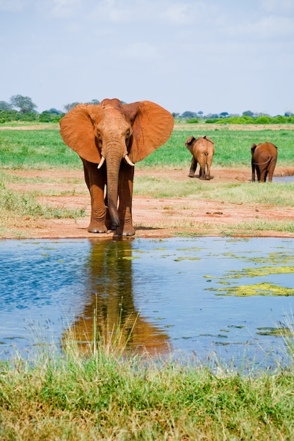 Huge male african elephant Premium Photo