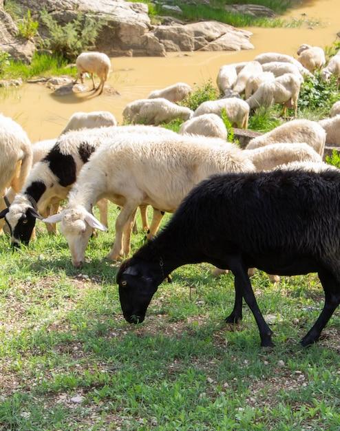 Huge sheep and goat herd. Premium Photo