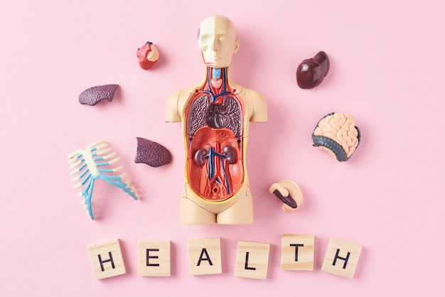 Human anatomy mannequin with internal organs and word health on a pink background. medical health concept Premium Photo