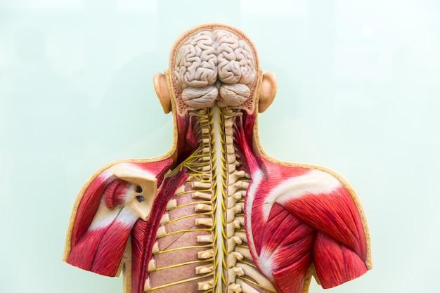 Human body, brain, skeleton and muscular system Premium Photo