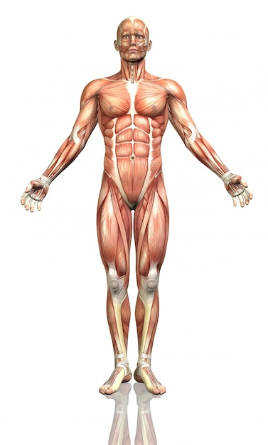 Human body, frontal Free Photo