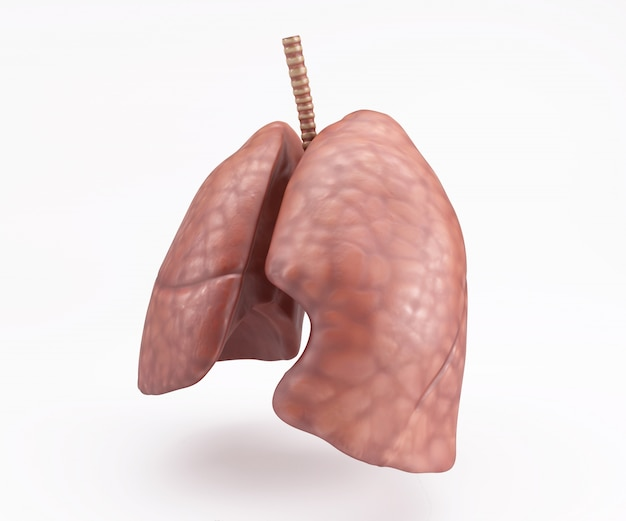 Human Lungs Photo Free Download