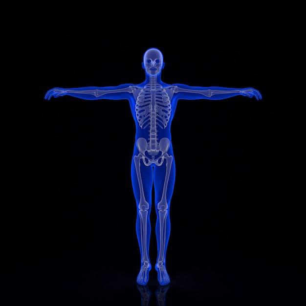 Human skeleton. 3d illustration. contains clipping path Premium Photo