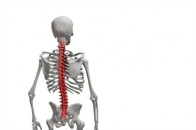 Human skeleton, illustration of the spine, back pain isolated Premium Photo