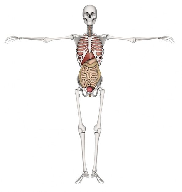 Human Skeleton Photo Free Download