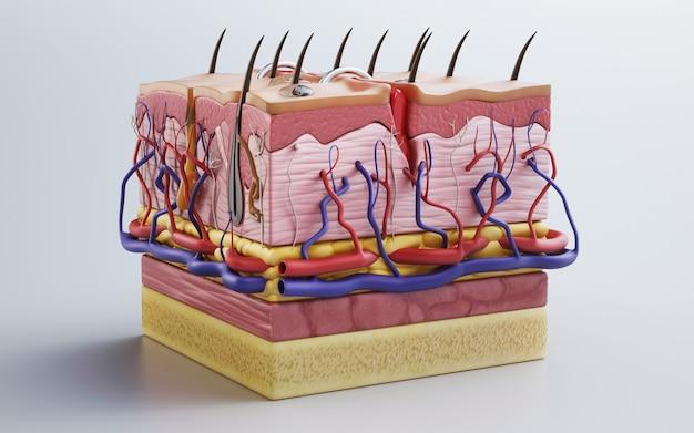 Human skin, skin structure, body fat. 3d rendering ...
