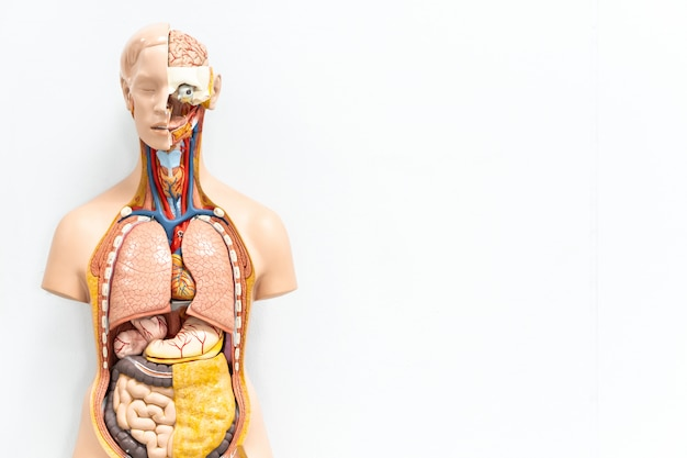 Human torso with organs artificial model in medical student classroom on white background with copy space Premium Photo