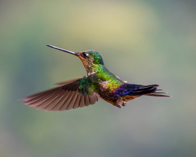 Humming bird green flying Premium Photo