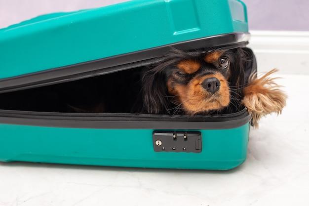 작고 장난 꾸러기 무심한 킹 찰스 스패니얼 강아지의 유머 라이프 스타일 사진. 프리미엄 사진