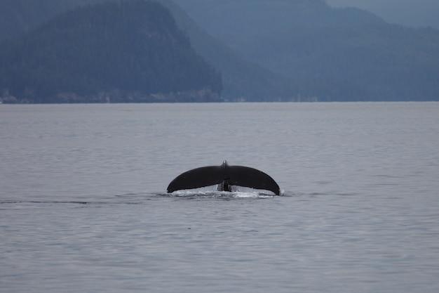 Сосальщик горбатого кита в море на аляске Бесплатные Фотографии