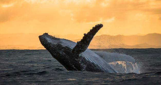 ザトウクジラが水から飛び出します。美しいジャンプ。 。マダガスカル。セントメリーズアイランド。 Premium写真