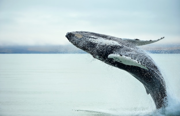 Humpback whale (megaptera novaeangliae) breaching near husavik city in iceland. Premium Photo