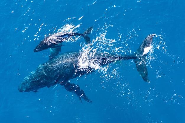 하와이 카팔 루아 해안에서 공중 드론으로 촬영 한 혹등 고래 무료 사진