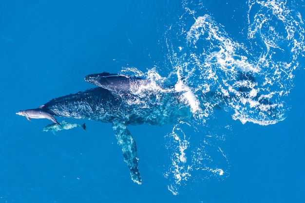 Humpback whales photographed from above with aerial drone off the coast of kapalua, hawaii Free Photo