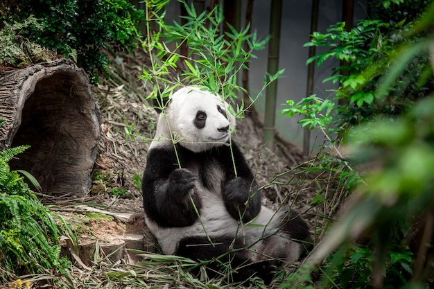 Hungry giant panda Premium Photo