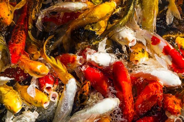 Hungry koi carps fish japanese swimming (cyprinus carpio) beautiful color background Premium Photo