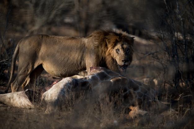 Leone maschio affamato con una giraffa morta con uno sfondo sfocato Foto Gratuite