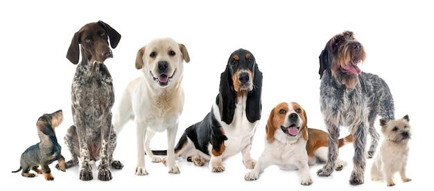 Hunting dogs in studio Premium Photo