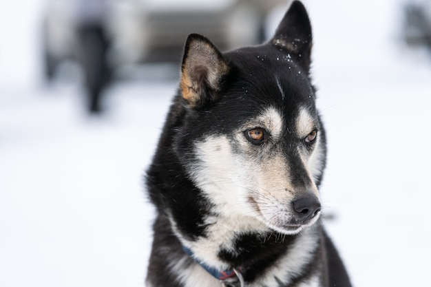 Husky dog portrait. funny pet on walking before sled dog training. Premium Photo