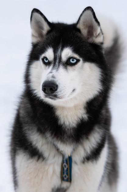 Husky dog portrait, winter snowy background. funny pet on walking before sled dog training. Premium Photo