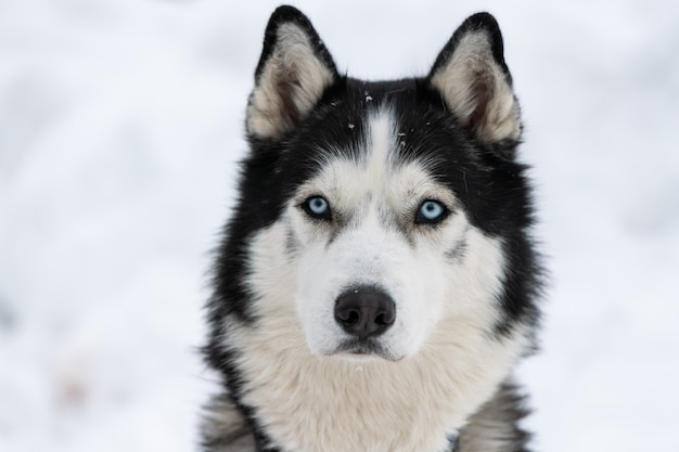 Husky dog portrait, winter snowy . funny pet on walking before sled dog training. Premium Photo