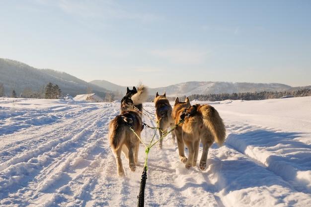 Husky dog sledge Premium Photo