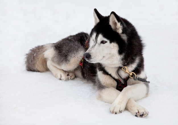 Husky dog Premium Photo