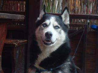 husky dog Free Photo