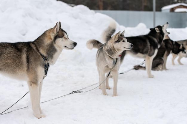 Husky dogs waiting for sled dog race Premium Photo