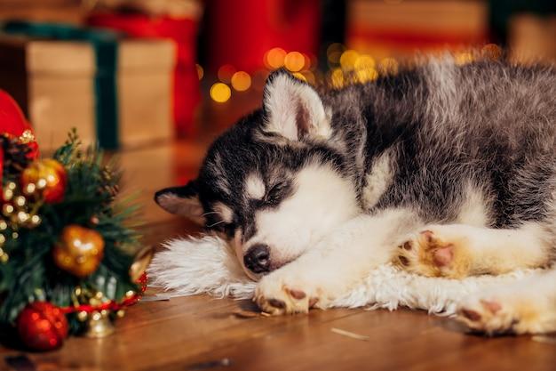 Husky puppy sleeping next to christmas tree Premium Photo