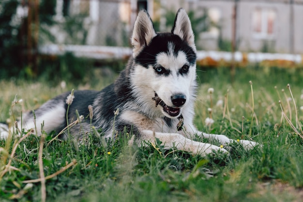 Husky puppy with multi-colored eyes frolics on the lawn with