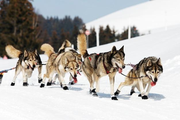 Corsa di husky in montagna alpina in inverno Foto Gratuite