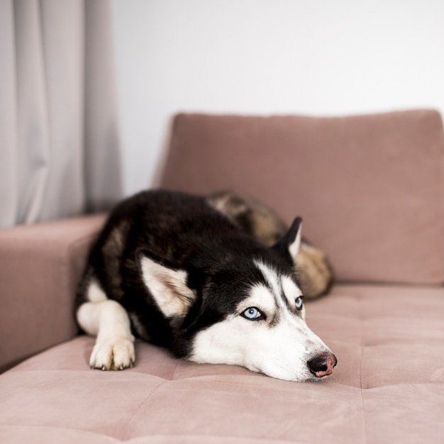 Husky relaxing on couch Free Photo