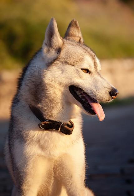 Husky Premium Photo