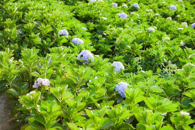 Поле цветов гортензии в саду гортензий красивый цветок цветут под жарким солнцем Premium Фотографии