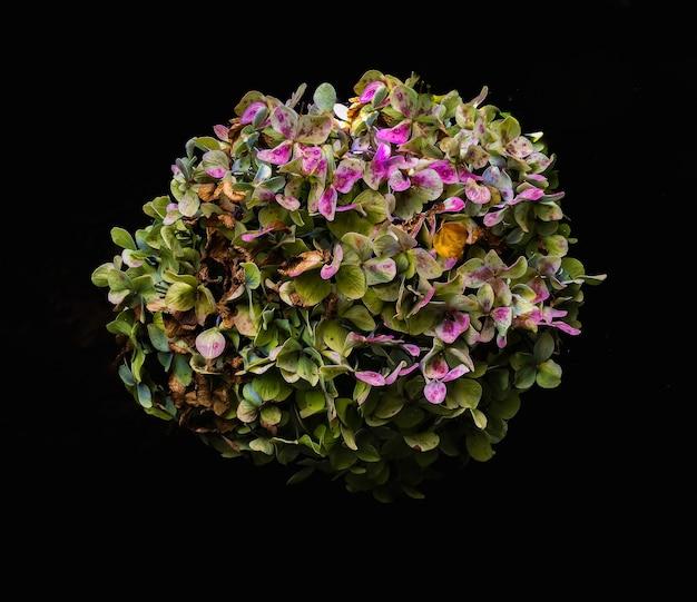 Hydrangea macrophylla (hortência) Foto Gratuite