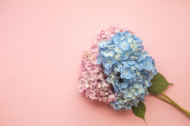 Hydrangea pink and blue flowers composition Premium Photo