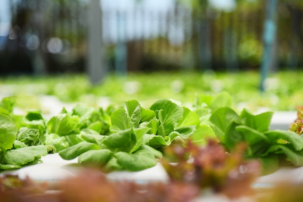 Hydroponic system young vegetable fresh green lettuce salad Premium Photo