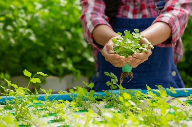 Hydroponics system, planting vegetables and herbs without using soil for health Free Photo