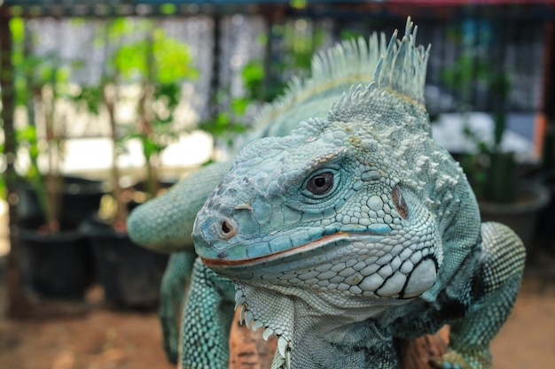 Hypomelanistic morph iguana Premium Photo