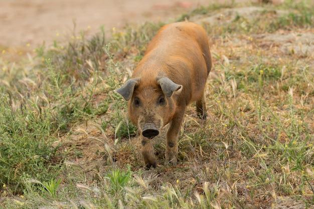 이베리아 돼지 방목 프리미엄 사진