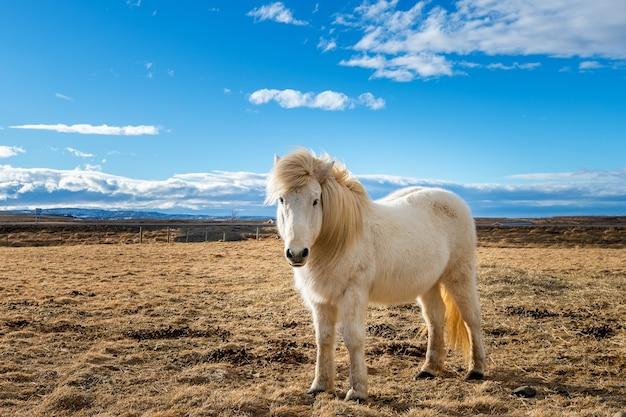 Cavallo islandese. cavallo bianco. Foto Gratuite