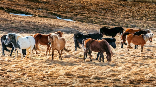 アイスランドの馬。馬のグループ。 無料写真