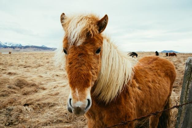 フィールドのアイスランドの馬 Premium写真