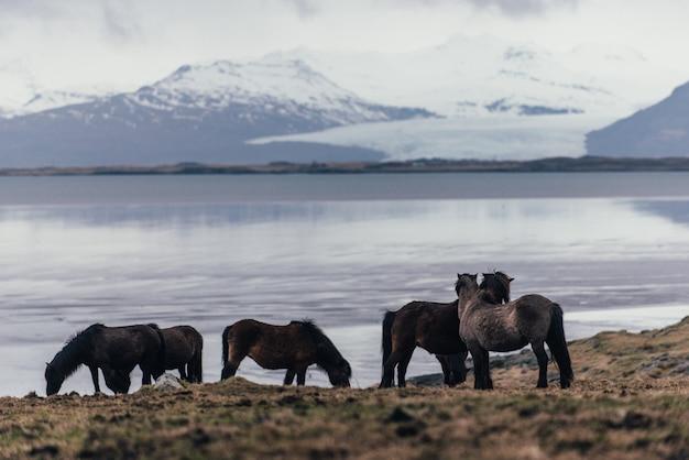 自然の中でアイスランドの馬 Premium写真